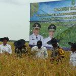 Danrem 031/WB Bersama Wakil Bupati Meranti Lakukan Panen Raya Padi di Desa Topang Kecamatan Rangsang