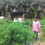 Hasil Kebun Sawit Sudah Mulai Pudar ,Warga Rawang Kao Bertani Cabe