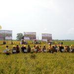 Gubri Panen Raya Padi di Rohil